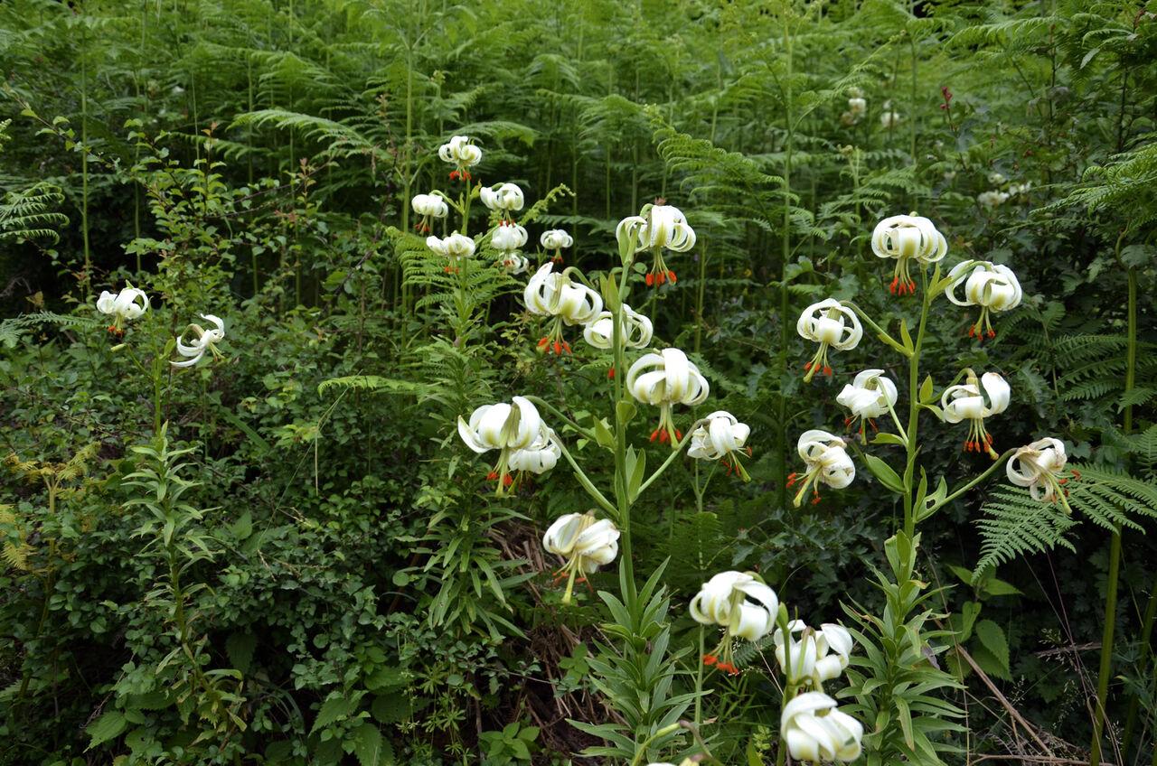 شکوفایی نادرترین گل جهان در گیلان