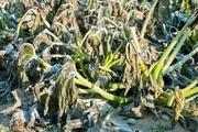 سرمای شدید محصولات کشاورزی استان بوشهر را تهدید میکند