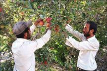 پیش بینی برداشت 220 هزار تن سیب درختی در شهرستان دماوند