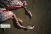 مسمومیت ، علت قطعی مرگ پرندگان مهاجر در میانکاله اعلام شد