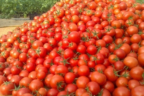 برداشت گوجه فرنگی در ایرانشهر از مرز پنج هزار تن گذشت