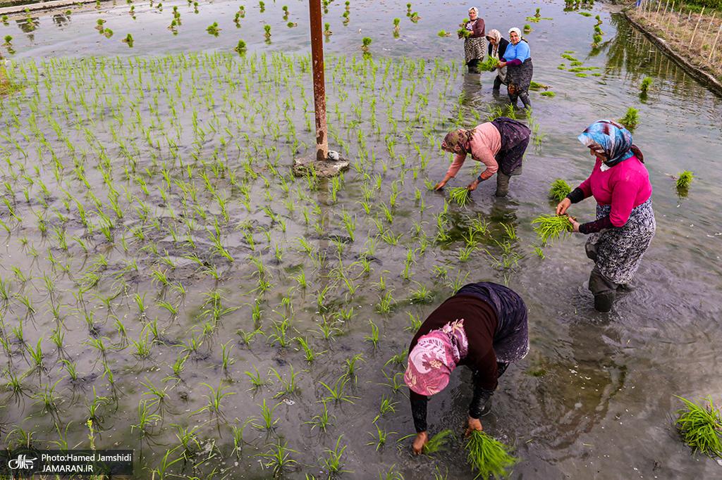 یک بارش و گذر شالیزارهای گیلان از تشنگی