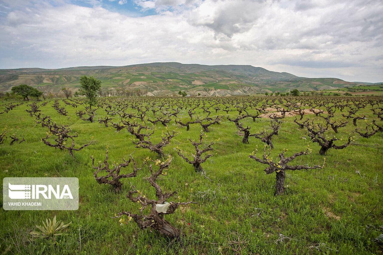 مشاهده بیماری سفیدک انگور در برخی تاکستانهای خراسان شمالی