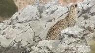 ثبت تصویری از یک پلنگ در منطقه حفاظت شده البرز مرکزی شمالی
