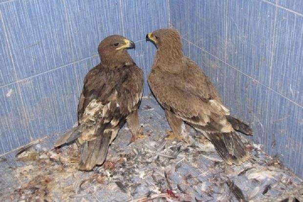 4 قطعه پرنده سرمازده تحویل محیط زیست تکاب شدند
