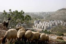 عدالت گوسفندی در فلسطین اشغالی!