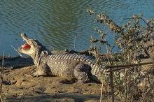 زندهگیری  و انتقال یک تمساح بزرگ از درون خانه روستاییان چابهار