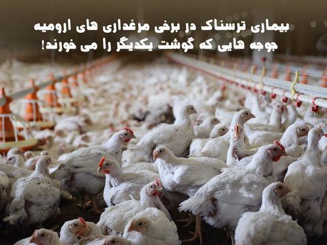 بیماری ترسناک در برخی مرغداری های ارومیه/ جوجه هایی که گوشت یکدیگر را می خورند! + فیلم