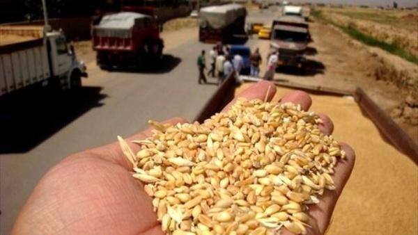 کشف انبار غیرقانونی 200 تن گندم در قزوین