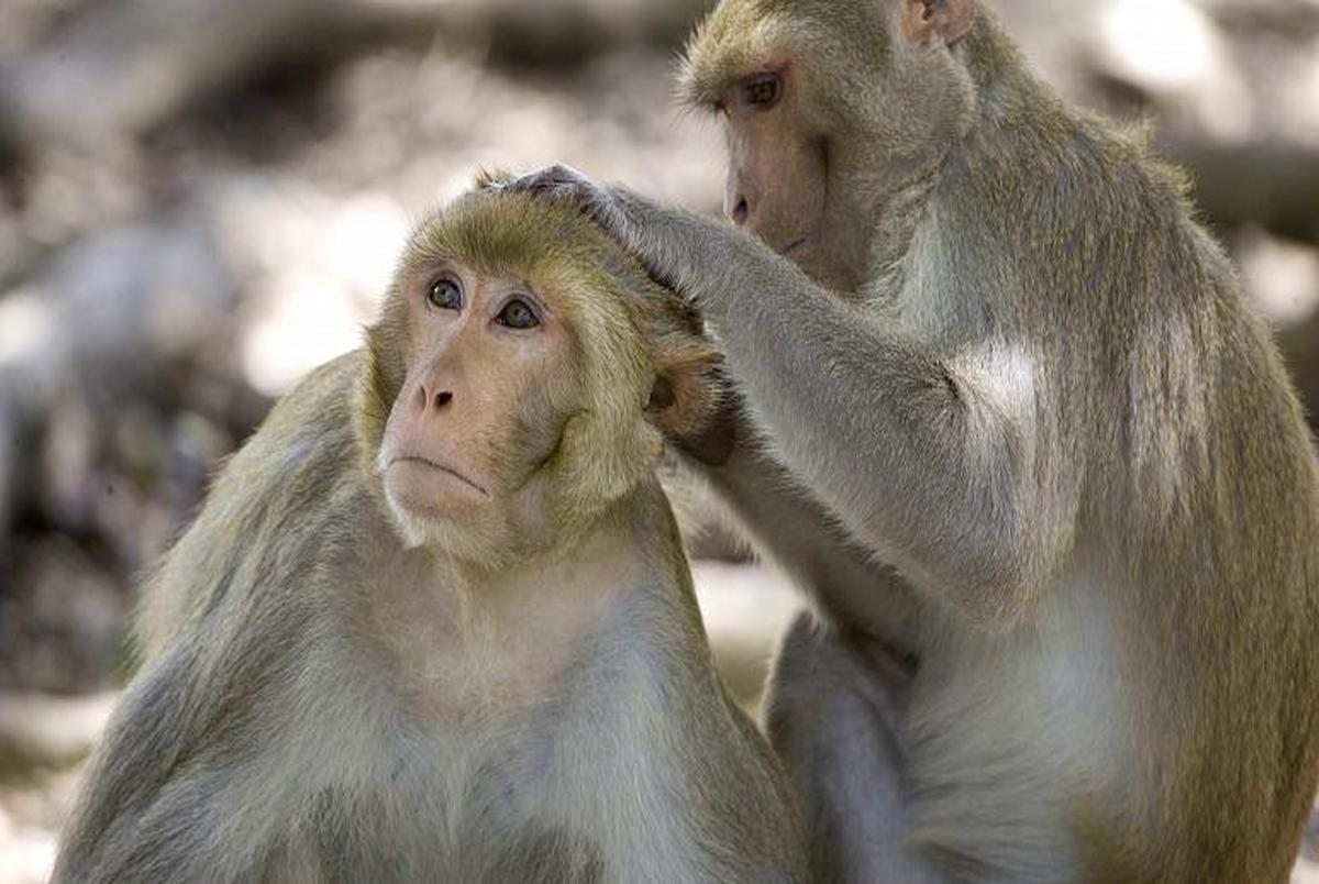 علائم ویروس آبله میمون چیست؟