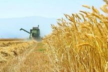 تولید گندم در خراسان شمالی حدود 30 درصد کاهش می یابد