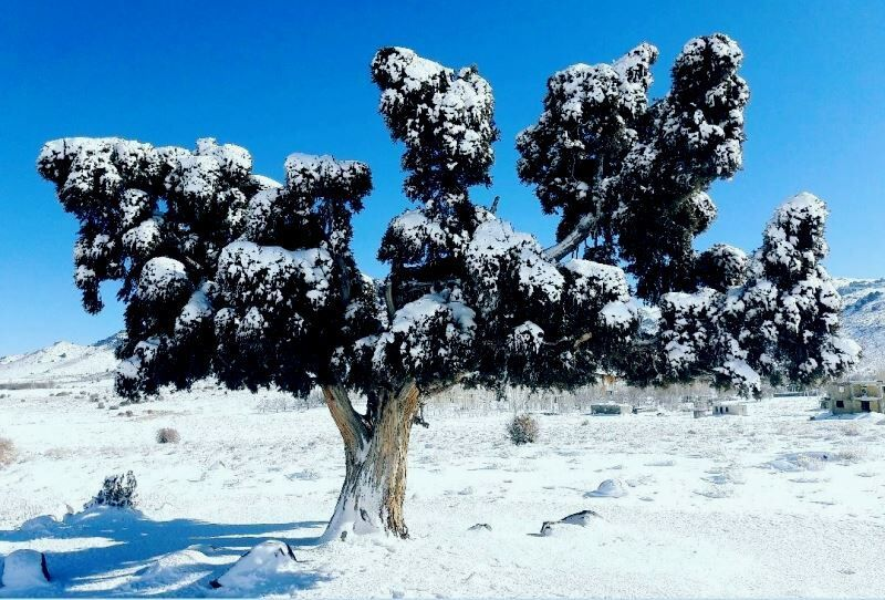 جنوب کرمان و درختانی از توران و عُمان