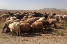 60 درصد گوشت قرمز قزوین توسط دامداریهای روستایی تولید می شود