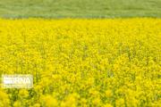 کشاورزان مرندی مراقب آفت شته مومی کلزا باشند