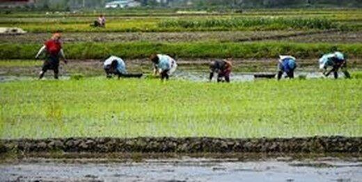 ممنوع شدن کشت برنج در بویراحمد