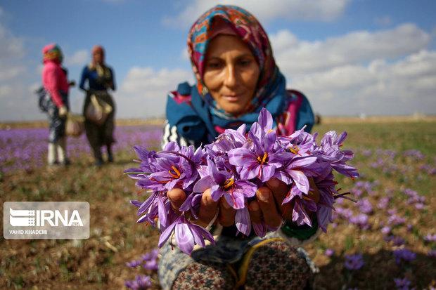 ۳۲ تن گل زعفران در جنوب خراسان رضوی برداشت شد
