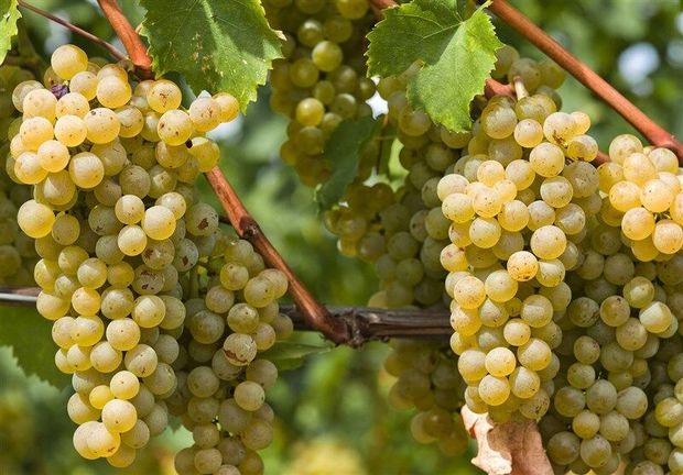 خراسان رضوی رتبه دوم تولید انگور کشور را دارد