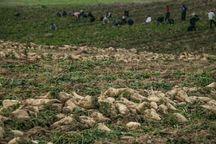 خراسان شمالی یک درصد شکر کشور را تامین میکند