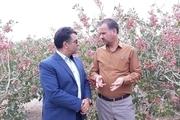 کشت گیاهان کم آبخواه در یزد به ۸۳ هزار هکتار رسید