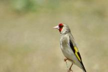 20 قطعه پرنده سهره طلایی در اشنویه کشف شد