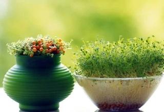 جایگزین های مناسب به کاشت گندم برای سبزه سفره هفت سین