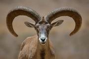 دستگیری شکارچی قوچ وحشی در ازنا