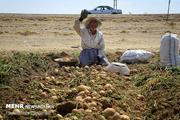 توسعه صنایع تبدیلی گامی بسوی جهش تولید سیب زمینی همدان را دریابیم