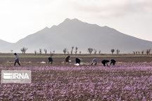 ۳۱۰ تن زعفران در خراسان رضوی برداشت شد