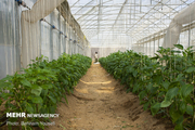 ۳۳ واحد گلخانهای در آبیک فعالیت می کنند