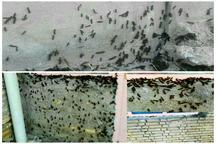 هجوم کرم های لارو پروانه ای گربهنوروزی به روستای کلدوزخ ایذه