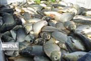 برداشت ۹۹۰ تن از ماهیان گرم آبی در آستانه اشرفیه