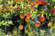 24 نوع محصول باغی در قزوین تولید می شود