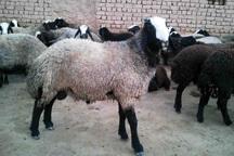 طرح اصلاح نژاد گوسفند شال اجرا می شود