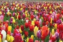 بیش از یک میلیون شاخه گل رز در همدان تولید شد