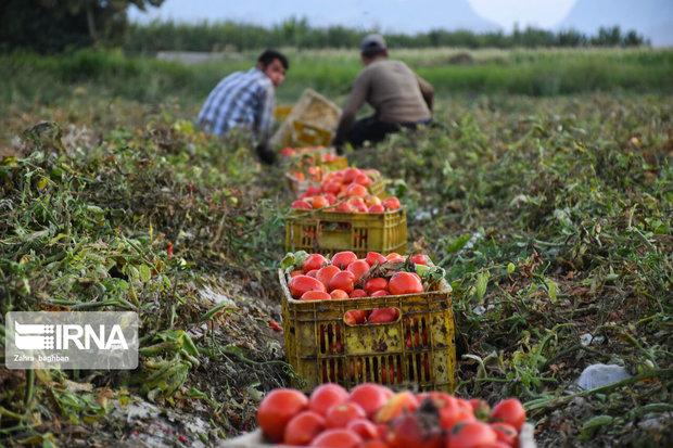 ۱۷میلیارد تومان مطالبات گوجهفرنگی کاران زنجانی پرداخت شد