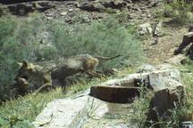 6 گونه جانوری پستاندار در منطقه انگوران زنجان مشاهده شد