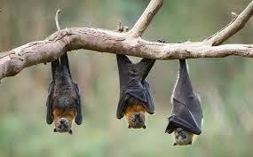 شناسایی ویروسی مرگبار در خفاشها