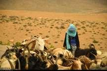 عشایر مجاز به وارد کردن 70 هزار واحد دامی در همدان هستند