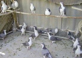 سارق کبوتر در بهشهر به دام افتاد