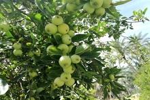 راه اندازی پویش نذر سیب در مهریز