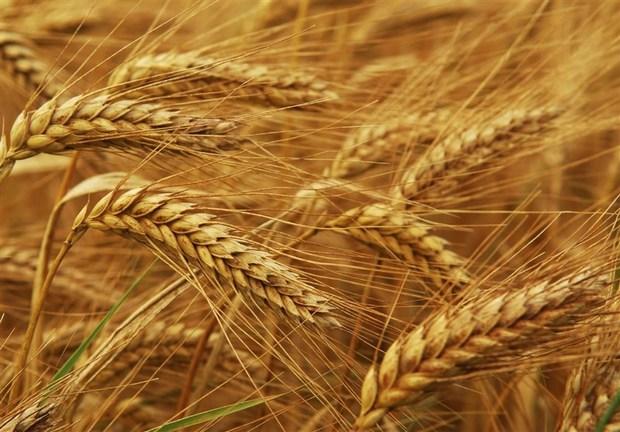 امسال ۱۱ میلیون تن گندم تضمینی در کشور خریداری میشود