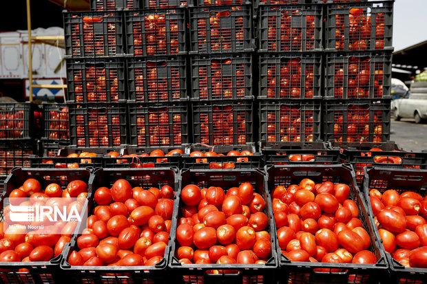 ناخرسندی کشاورزان خراسان شمالی از قیمت پایین خرید گوجهفرنگی