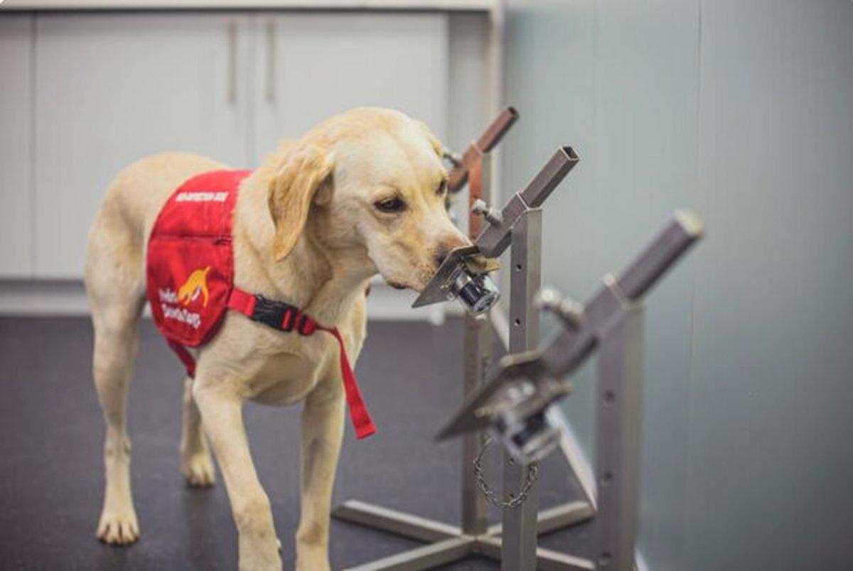 سگ ها کرونایی ها را با دقت ۹۴درصد شناسایی می کنند