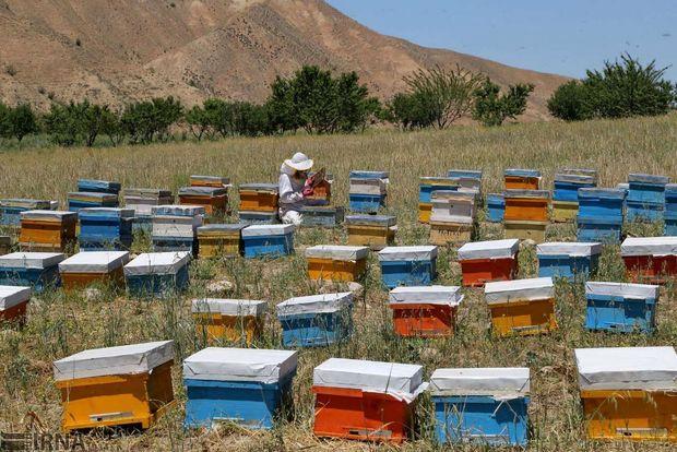تولید عسل در استان تهران ۲۲ درصد افزایش یافت
