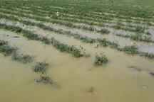 سه هزار هکتار اراضی کشاورزی شهرستان صحنه زیر آب رفت