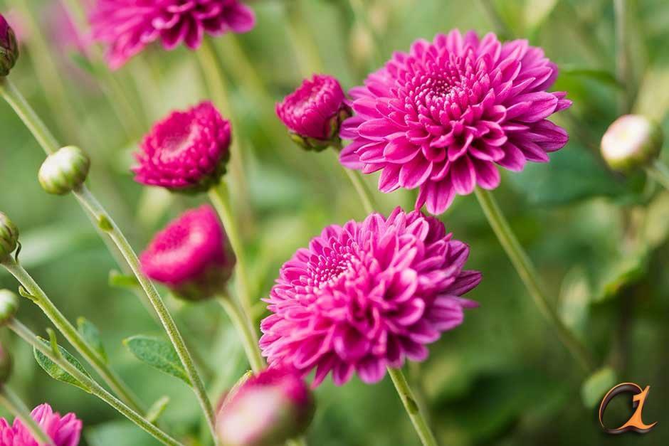 کاشت گل داوودی در زمستان