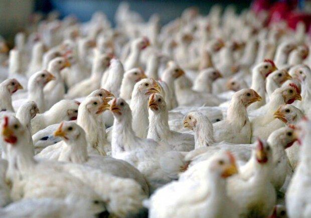 مشاهده نخستین مورد آنفلوآنزای فوق حاد پرندگان در خوزستان