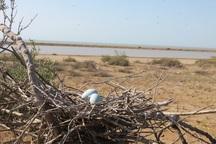 تخم گذاری پرندگان در تالاب های نقده آغاز شد