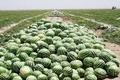 ضرر هندوانه کاران ایرانی از افزایش تعرفه ترکیه