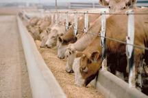 293 هزار کیلوگرم خوراک دام از استان مرکزی صادر شد